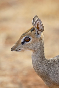 Male Gunther's dik dik (Rinchotragus guntheri), Samburu National Reserveの写真素材 [FYI03774947]