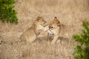 Two lion (Panthera leo) cubs playing, Masai Mara National Reserveの写真素材 [FYI03774983]