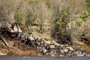 Herd of blue wildebeest (brindled gnu) (Connochaetes taurinus) crossing the Mara River, Masai Mara Nの写真素材 [FYI03774989]
