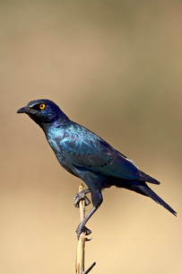 Cape glossy starling (Lamprotornis nitens), Pilanesberg National Parkの写真素材 [FYI03774994]