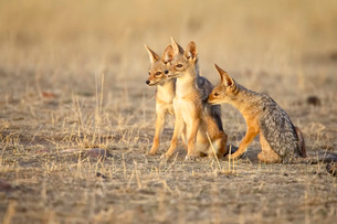 Three black-backed jackal or silver-backed jackal (Canis mesomelas) pups in early light, Masai Maraの写真素材 [FYI03774996]