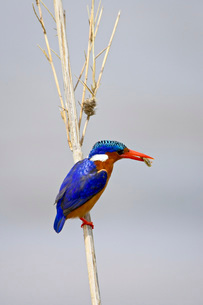 Malachite kingfisher (Alcedo cristata) with an insect in its beak, Kruger National Parkの写真素材 [FYI03775008]