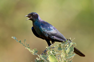 Burchell's glossy-starling (Lamprotornis australis), Kruger National Parkの写真素材 [FYI03775011]