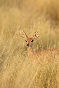 Female steenbok (Raphicerus campestris) in tall grass, Kgalagadi Transfrontier Park, encompassing thの写真素材 [FYI03775033]