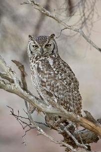 Spotted eagle owl (Bubo africanus), Kgalagadi Transfrontier Park, encompassing the former Kalahari Gの写真素材 [FYI03775034]
