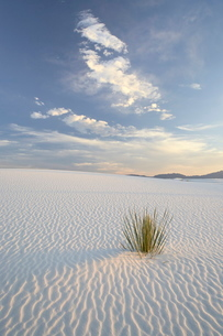 Yucca growing in rippled sand, White Sands National Monument, New Mexico'の写真素材 [FYI03775041]