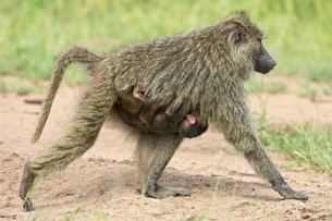 Olive baboon (Papio cynocephalus anubis) infant riding on its mothers chest, Serengeti National Parkの写真素材 [FYI03775049]