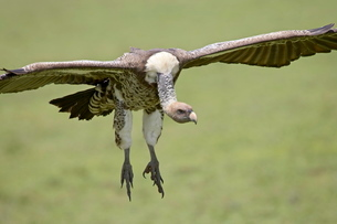 Ruppell's griffon vulture (Gyps rueppellii) on final approach, Serengeti National Park, Tanzaniaの写真素材 [FYI03775062]