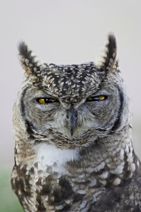 Spotted eagle owl (Bubo africanus), Kgalagadi Transfrontier Park, encompassing the former Kalahari Gの写真素材 [FYI03775087]