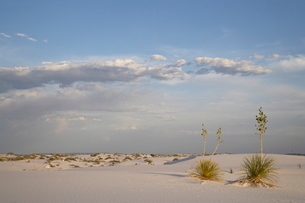 Yucca plants on a dune, White Sands National Monument, New Mexico'の写真素材 [FYI03775108]