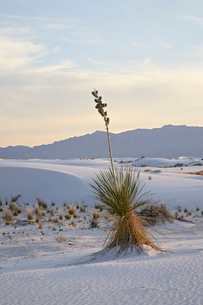 Yucca plant on a dune at dusk, White Sands National Monument, New Mexico'の写真素材 [FYI03775109]