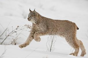 Canadian lynx (Lynx canadensis) in snow, near Bozeman, Montana'の写真素材 [FYI03775121]