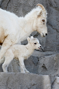 Dall sheep (Ovis dalli) mother and two-day-old lamb in captivity, Denver Zoo, Denver, Colorado'の写真素材 [FYI03775129]