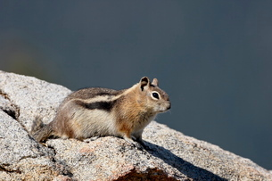 Golden-mantled squirrel (Citellus lateralis), Rocky Mountain National Park, Colorado'の写真素材 [FYI03775135]