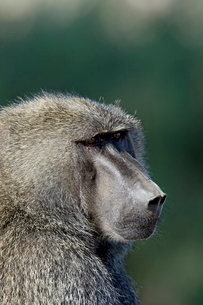 Olive baboon (Papio cynocephalus anubis), Samburu National Reserveの写真素材 [FYI03775155]