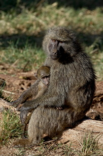 Olive baboon (Papio cynocephalus anubis) mother and infant, Samburu National Reserveの写真素材 [FYI03775156]