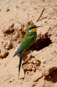Swallow-tailed bee-eater (Merops hirundineus) at its nest opening, Kgalagadi Transfrontier Park, encの写真素材 [FYI03775165]