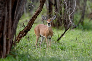 Male steenbok (Raphicerus campestris), Kruger National Parkの写真素材 [FYI03775177]