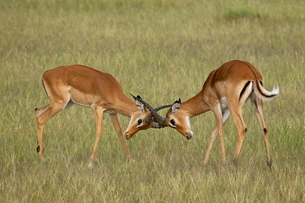 Two male impala (Aepyceros melampus) sparring, Serengeti National Park, Tanzaniaの写真素材 [FYI03775187]