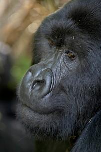Silverback mountain gorilla (Gorilla gorilla beringei), Group 13, Volcanoes National Park, Rwandaの写真素材 [FYI03775198]