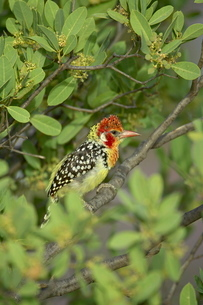 Male red-and-yellow barbet (Trachyphonus erythrocephalus), Samburu National Reserveの写真素材 [FYI03775203]