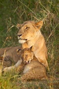 Lioness (Panthera leo) with cub, Masai Mara National Reserveの写真素材 [FYI03775216]