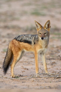 Black-backed jackal (silver-backed jackal) (Canis mesomelas), Kgalagadi Transfrontier Park, encompasの写真素材 [FYI03775217]
