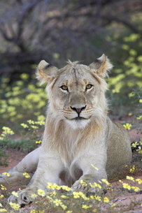 Young male lion (Panthera leo) resting among yellow wildflowers, Kgalagadi Transfrontier Park, encomの写真素材 [FYI03775229]