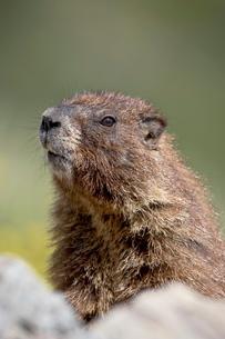 Yellowbelly marmot (Marmota flaviventris) near Cinnamon Pass, Uncompahgre National Forest, Colorado'の写真素材 [FYI03775239]