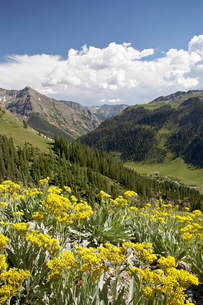 Wildflowers and mountains near Cinnamon Pass, Uncompahgre National Forest, Colorado'の写真素材 [FYI03775240]