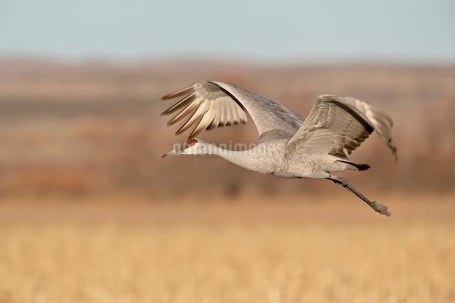 Sandhill crane (Grus canadensis) in flight, Bosque Del Apache National Wildlife Refuge, New Mexico'の写真素材 [FYI03775247]