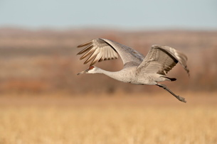 Sandhill crane (Grus canadensis) in flight, Bosque Del Apache National Wildlife Refuge, New Mexico'の写真素材 [FYI03775247]