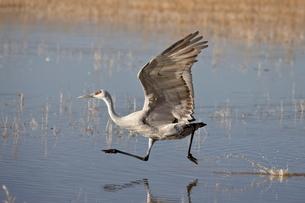 Sandhill crane (Grus canadensis) taking off, Bosque Del Apache National Wildlife Refuge, New Mexico'の写真素材 [FYI03775248]