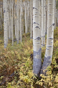 Aspen grove in early fall, White River National Forest, Colorado'の写真素材 [FYI03775250]