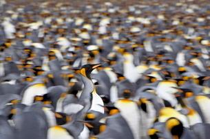 King penguin (Aptenodytes patagonica) walking through the colony, Salisbury Plain, South Georgiaの写真素材 [FYI03775279]