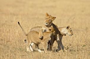 Lion (Panthera leo) cubs playing, Masai Mara National Reserveの写真素材 [FYI03775297]
