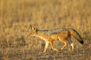 Young black-backed jackal (silver-backed jackal) (Canis mesomelas), Masai Mara National Reserveの写真素材 [FYI03775303]