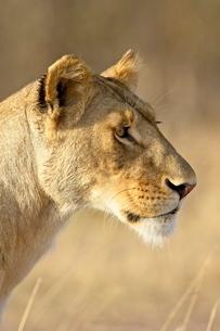 Lioness (Panthera leo), Masai Mara National Reserveの写真素材 [FYI03775306]