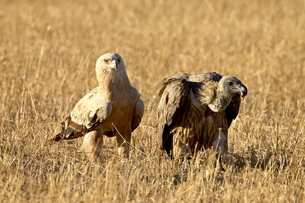 Tawny eagle (Aquila rapax) and African white-backed vulture (Gyps africanus), Masai Mara National Reの写真素材 [FYI03775308]