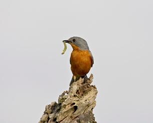 Silverbird (Empidornis semipartitus) with inchworm, Serengeti National Park, Tanzaniaの写真素材 [FYI03775329]