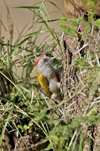 Immature grey woodpecker (Dendropicos goertae), Serengeti National Park, Tanzaniaの写真素材 [FYI03775330]