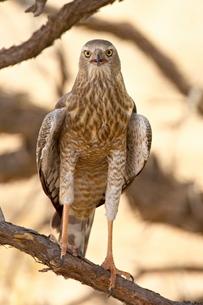 Juvenile pale chanting goshawk (Melierax canorus), Kgalagadi Transfrontier Park, encompassing the foの写真素材 [FYI03775336]