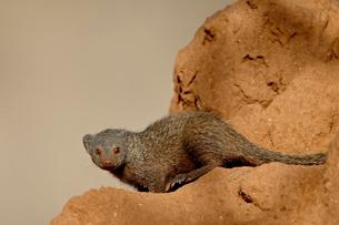 Dwarf mongoose (Helogale parvula), Samburu National Reserveの写真素材 [FYI03775348]