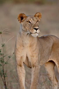Lioness (Panthera leo), Samburu National Reserveの写真素材 [FYI03775353]