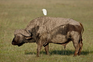 Cape buffalo (African buffalo) (Syncerus caffer) with a cattle egret (Bubulcus ibis) on its back, Laの写真素材 [FYI03775364]