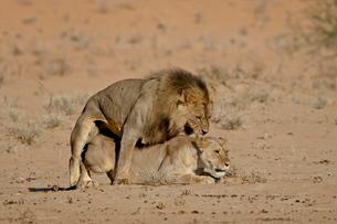 Lion (Panthera leo) pair mating, Kgalagadi Transfrontier Park, the former Kalahari Gemsbok Nationalの写真素材 [FYI03775457]