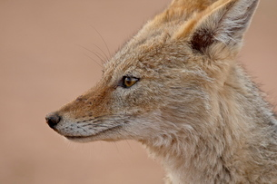 Black-backed jackal (silver-backed jackal) (Canis mesomelas), Kgalagadi Transfrontier Parkの写真素材 [FYI03775465]