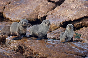 Three Cape fur seal (South African fur seal) (Arctocephalus pusillus) pups, Elands Bayの写真素材 [FYI03775477]