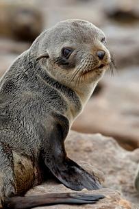 Cape fur seal (South African fur seal) (Arctocephalus pusillus) pup, Elands Bayの写真素材 [FYI03775481]