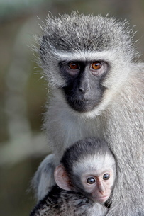 Vervet monkey (Chlorocebus aethiops) mother and infant, Mountain Zebra National Parkの写真素材 [FYI03775489]